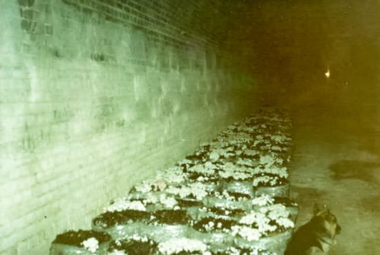 Mushrooms within tunnels in polythene bags. (Source: Supplied)
